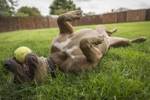 A playful dog rolls on his back